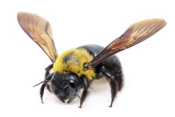 Do-carpenter-bees-sting-Male-vs-Female-carpenter-bee[1]